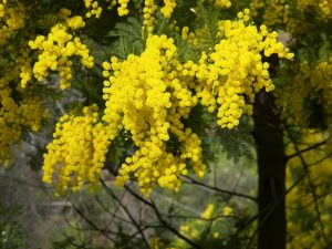 mimosa-branch-yellow-flowers